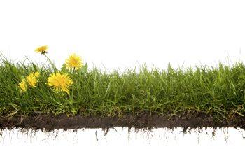 dandelion weeds in zoysia grass